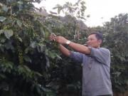 Lão nông lãi hơn 300 triệu/năm chỉ từ 3ha cà phê