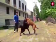 Xem chó ngao Tây Tạng thư hùng với  bá chủ chó chọi  pitbull