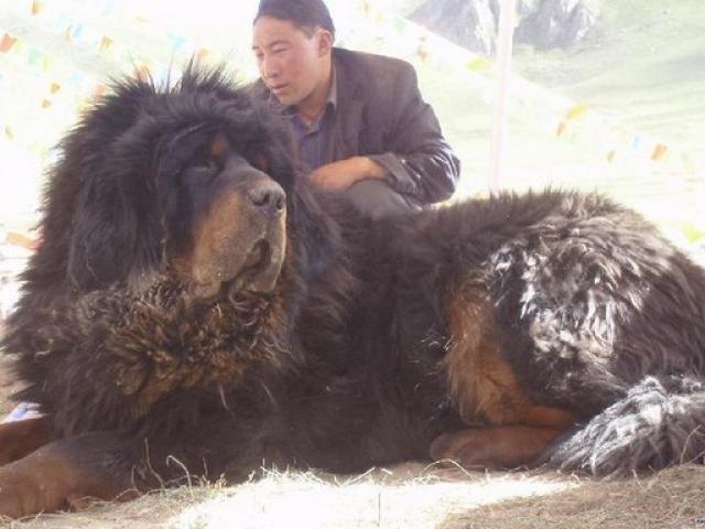"""""""Thần khuyển"""" ngao Tây Tạng cắn chết 37 chó sói"""