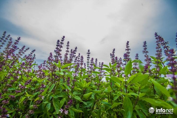 Thực hư cánh đồng hoa Lavender ở ven đô gây sốt cộng đồng mạng