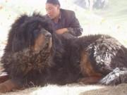 Thần khuyển  ngao Tây Tạng cắn chết 37 chó sói