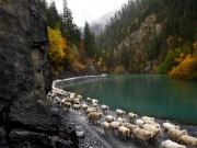 Hành trình di cư ngoạn mục của những người chăn cừu