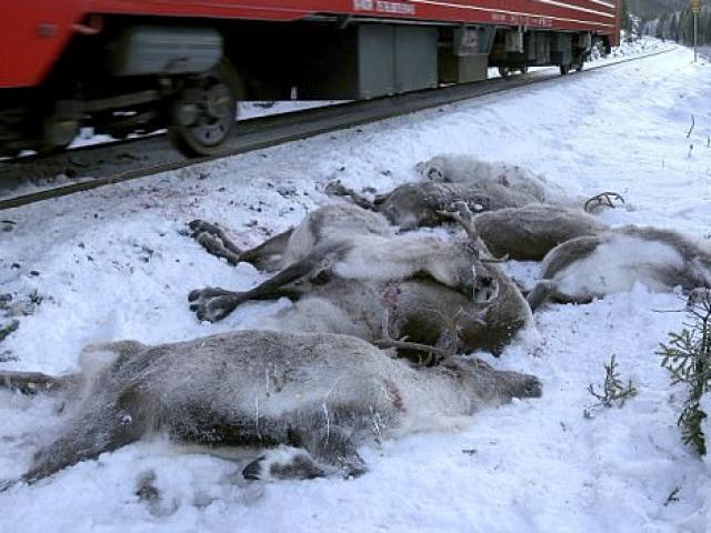 Tàu hỏa đâm một lúc chết 21 con trâu ở Thái Lan - 3
