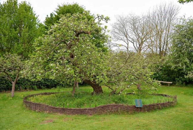 Chiêm ngưỡng cây táo Newton 400 năm tuổi