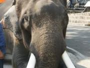 Thế giới - Thái Lan: Voi 5 tấn giết chết chủ bằng cách đáng sợ