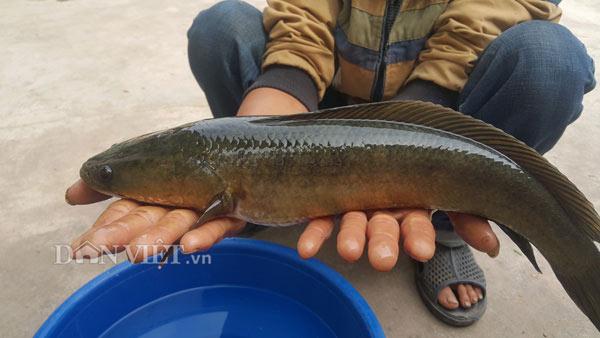Nuôi con gì bán Tết: Kiếm trăm triệu nhờ nuôi loài cá lóc đầu nhọn ảnh 2