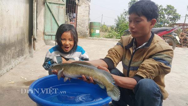Nuôi con gì bán Tết: Kiếm trăm triệu nhờ nuôi loài cá lóc đầu nhọn ảnh 3