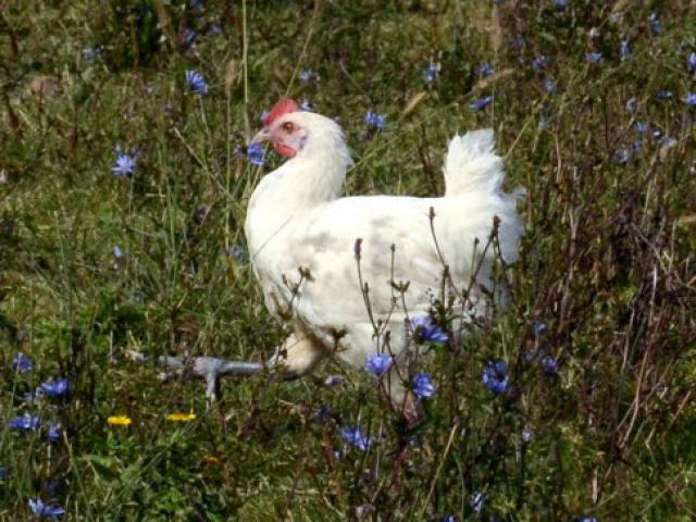 """""""Đột nhập"""" thị trấn có loại gà đắt nhất hành tinh"""