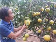 Thị trường - Tiêu dùng - Trồng cây gì bán tết: Trồng bưởi Tết thu hoạch kép, lão nông kiếm hàng trăm triệu