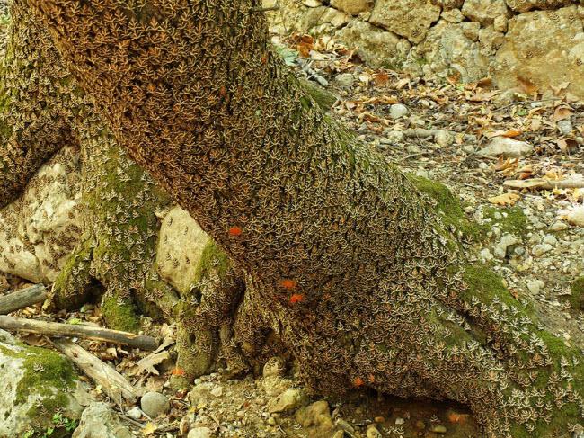 Choáng ngợp cảnh bướm đậu đặc kín cả thung lũng