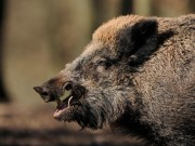 Thế giới - Bắn lợn rừng, thợ săn Đức bị con mồi vồ chết không kịp trở tay