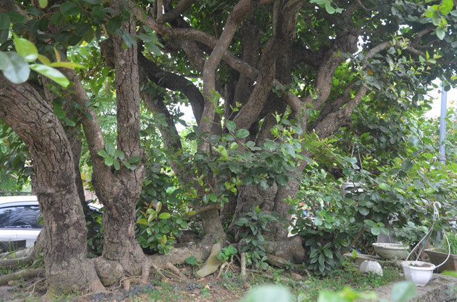 """Ngắm """"siêu cây"""" trâm vối 500 năm tuổi """"có một không hai"""" ở Việt Nam - 2"""