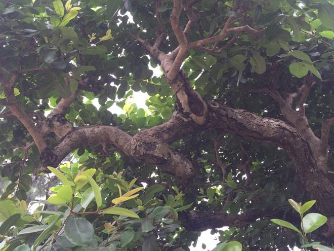 """Ngắm """"siêu cây"""" trâm vối 500 năm tuổi """"có một không hai"""" ở Việt Nam - 9"""