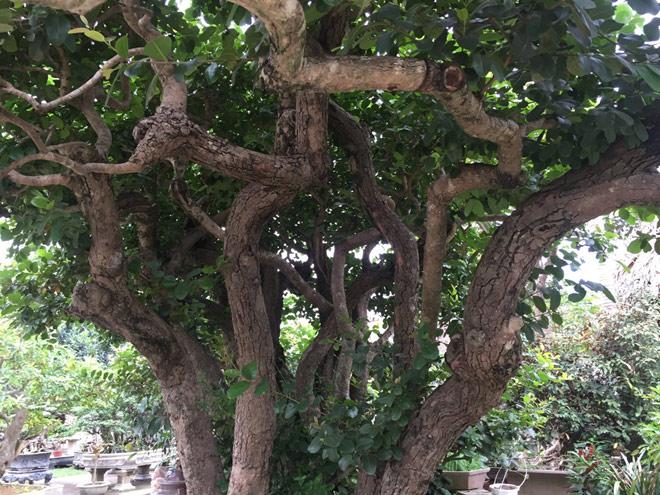"""Ngắm """"siêu cây"""" trâm vối 500 năm tuổi """"có một không hai"""" ở Việt Nam - 6"""