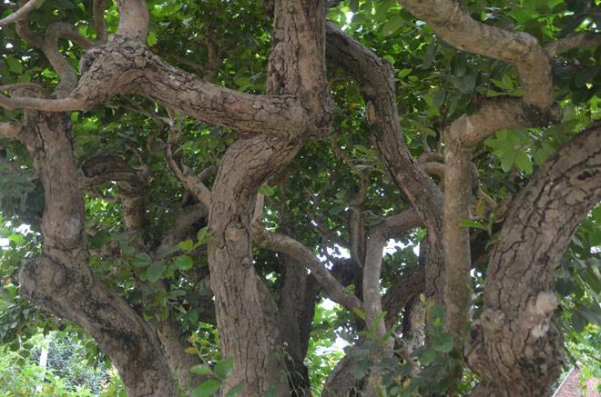 """Ngắm """"siêu cây"""" trâm vối 500 năm tuổi """"có một không hai"""" ở Việt Nam - 4"""