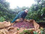 Thị trường - Tiêu dùng - Còng lưng hái cà phê, nông dân Gia Lai chạy đua với mưa và... giá!