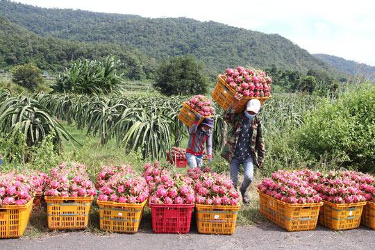 Thanh long Bình Thuận lao đao vì giá sụt giảm kỷ lục - 1