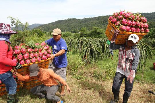 Thanh long Bình Thuận lao đao vì giá sụt giảm kỷ lục - 2