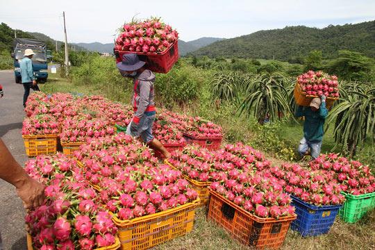 Thanh long Bình Thuận lao đao vì giá sụt giảm kỷ lục - 3