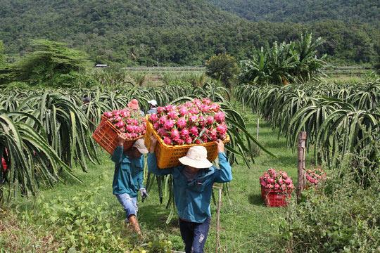 Thanh long Bình Thuận lao đao vì giá sụt giảm kỷ lục - 4