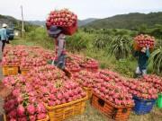 Thị trường - Tiêu dùng - Thanh long Bình Thuận lao đao vì giá sụt giảm kỷ lục