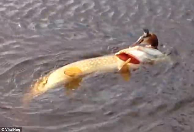 Video: Kinh ngạc cảnh cá dìm chim dưới nước để ăn thịt