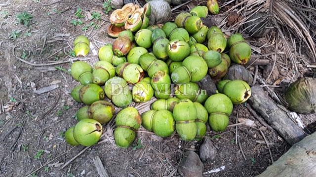 Dừa độc, lạ đón Tết 2018 của 'vua' tạo hình trái cây bị rụng la liệt - 2