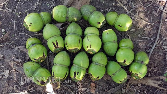 Dừa độc, lạ đón Tết 2018 của 'vua' tạo hình trái cây bị rụng la liệt - 3