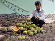 Thị trường - Tiêu dùng - Dừa độc, lạ đón Tết 2018 của 'vua' tạo hình trái cây bị rụng la liệt