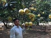 Làm giàu ở nông thôn: Phát tài với vườn bưởi Diễn 40.000 quả