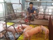 Giá lợn hơi đang tăng nhẹ, cả nước ngóng vụ tết