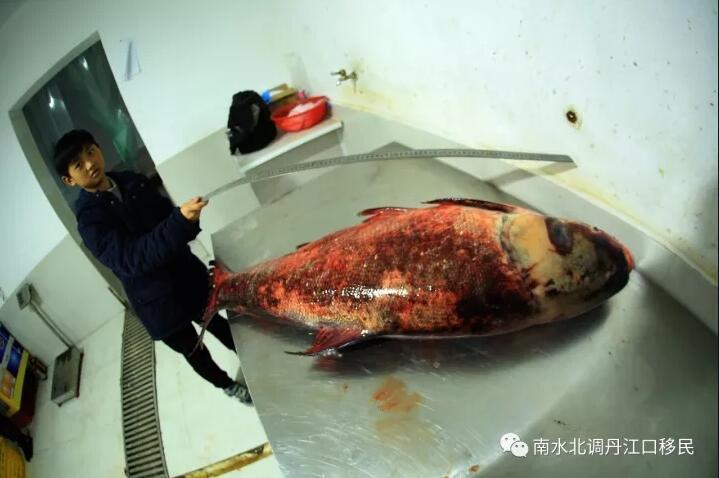 """TQ: Bắt được cá mè vua """"thành tinh"""", lớn nhất trong 50 năm - 5"""