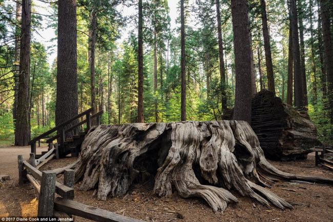 Ngỡ ngàng trước những cây cổ thụ kỳ dị nhất hành tinh - 7