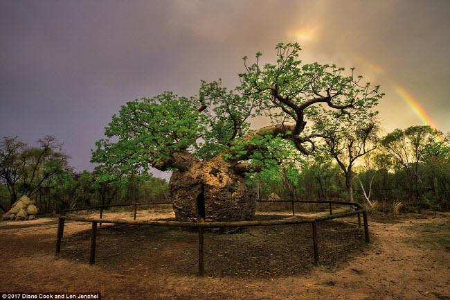 Ngỡ ngàng trước những cây cổ thụ kỳ dị nhất hành tinh - 6