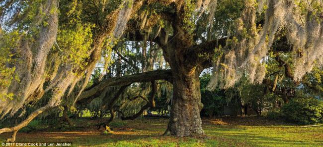 Ngỡ ngàng trước những cây cổ thụ kỳ dị nhất hành tinh - 5