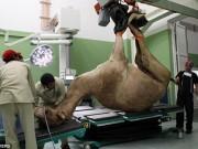 Phi thường - kỳ quặc - Bệnh viện xây hết 250 tỉ đồng chỉ để chăm lạc đà ở Dubai