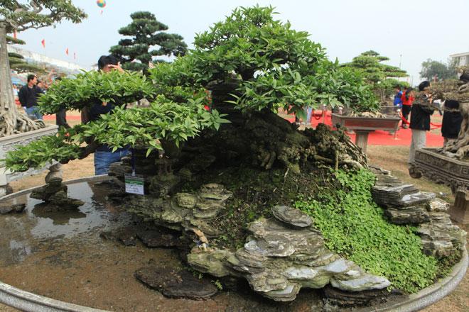 Chiêm ngưỡng cây mai chiếu thủy trăm tuổi, trả gần nửa tỷ không bán