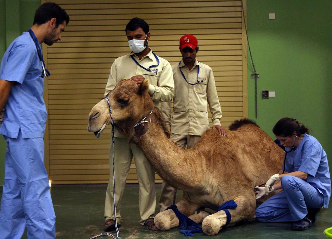 Đẳng cấp Dubai: Bệnh viện siêu đắt dành cho...lạc đà, phẫu thuật 1 lần hết gần 23 triệu