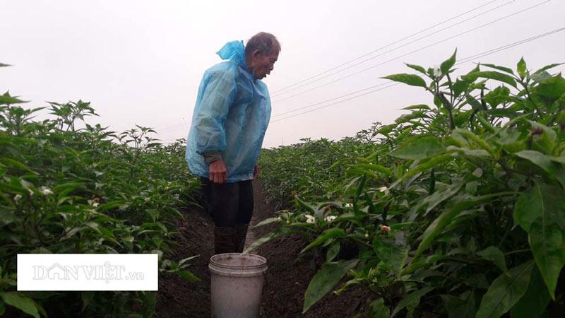 Trồng quả cay xé lưỡi, giá cao, nông dân lãi gấp 10 lần cấy lúa - 1