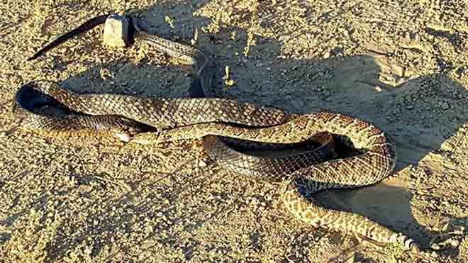Video: Rắn đuôi chuông kịch độc bị rắn không có độc khuất phục