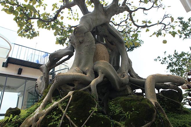 """Cây bồ đề có bộ rễ """"ảo diệu"""", có tiền thiếu duyên cũng không mua được - 4"""
