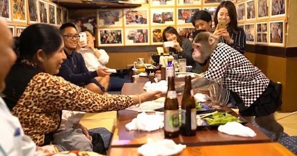 Thuê khỉ làm...bồi bàn, quán rượu ở Nhật Bản gây sốt