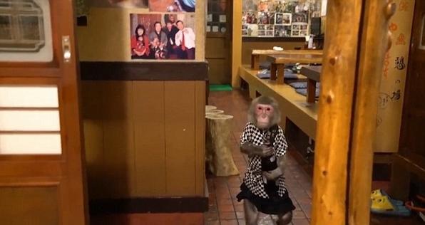Thuê khỉ làm...bồi bàn, quán rượu ở Nhật Bản gây sốt - 3