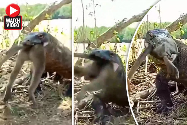 Video: Thằn lằn