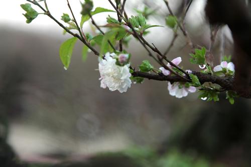 Ngắm vườn nhất chi mai hiếm có, khó trồng ở Hà Nội - 13