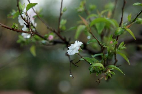 Ngắm vườn nhất chi mai hiếm có, khó trồng ở Hà Nội - 11