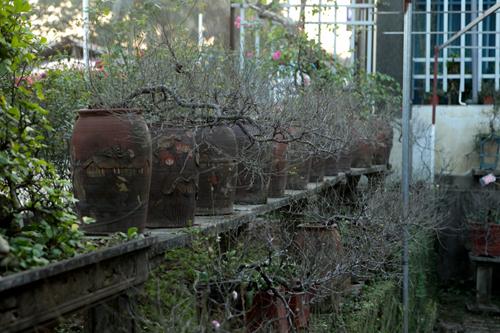 Ngắm vườn nhất chi mai hiếm có, khó trồng ở Hà Nội - 16