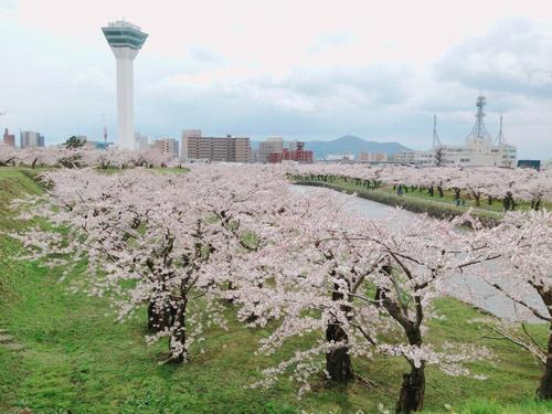 Nô nức mùa Lễ hội hoa anh đào Nhật Bản - 5