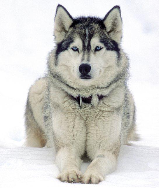10 giống chó hung dữ nhất thế giới - 4