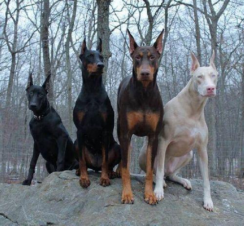 10 giống chó hung dữ nhất thế giới - 7